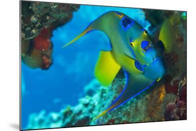 A Queen Angelfish under a Ledge Off Cooper Island, British Virgin Islands-Mauricio Handler-Mounted Photographic Print