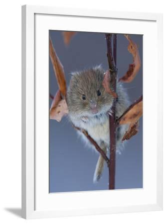 Portrait of a Northern Red-Backed Vole, Myodes Rutilus, Climbing on a Tree Branch-Michael S^ Quinton-Framed Photographic Print