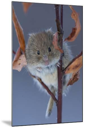 Portrait of a Northern Red-Backed Vole, Myodes Rutilus, Climbing on a Tree Branch-Michael S^ Quinton-Mounted Photographic Print