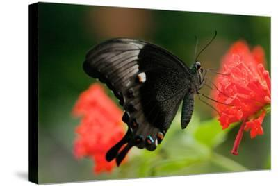 An Emerald Swallowtail Butterfly, Papilio Palinurus-Vickie Lewis-Stretched Canvas Print