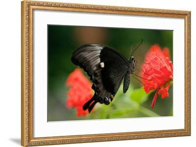 An Emerald Swallowtail Butterfly, Papilio Palinurus-Vickie Lewis-Framed Photographic Print