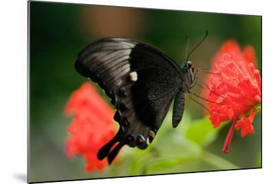 An Emerald Swallowtail Butterfly, Papilio Palinurus-Vickie Lewis-Mounted Photographic Print