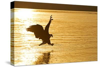 An African Fish Eagle Alights on the Nile River Bathed in Sunlight at Sunset-Cory Richards-Stretched Canvas Print
