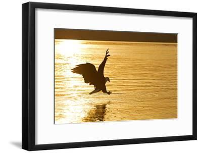 An African Fish Eagle Alights on the Nile River Bathed in Sunlight at Sunset-Cory Richards-Framed Photographic Print