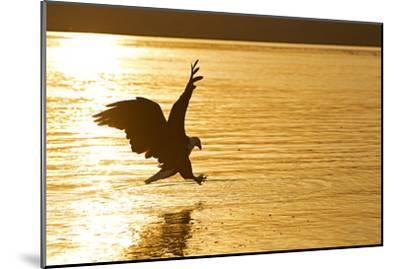 An African Fish Eagle Alights on the Nile River Bathed in Sunlight at Sunset-Cory Richards-Mounted Photographic Print