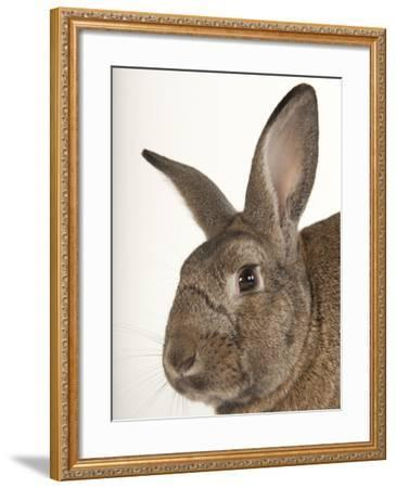 A Giant Flemish Rabbit, Oryctolagus Cuniculus Flemish, at the Fort Worth Zoo-Joel Sartore-Framed Photographic Print