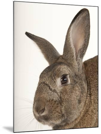 A Giant Flemish Rabbit, Oryctolagus Cuniculus Flemish, at the Fort Worth Zoo-Joel Sartore-Mounted Photographic Print