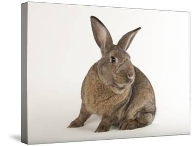 A Giant Flemish Rabbit, Oryctolagus Cuniculus Flemish, at the Fort Worth Zoo-Joel Sartore-Stretched Canvas Print