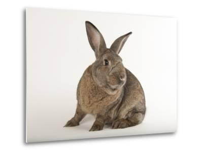 A Giant Flemish Rabbit, Oryctolagus Cuniculus Flemish, at the Fort Worth Zoo-Joel Sartore-Metal Print