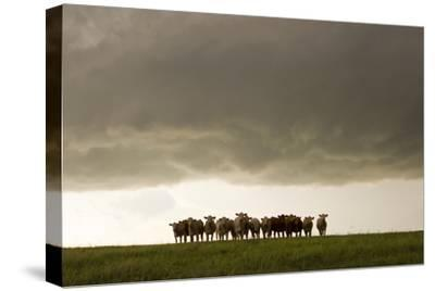 A Herd of Cattle Standing Side-By-Side, in a Perfect Row, in a Field under a Thunderstorm-Mike Theiss-Stretched Canvas Print