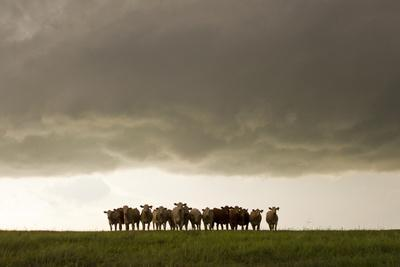 A Herd of Cattle Standing Side-By-Side, in a Perfect Row, in a Field under a Thunderstorm-Mike Theiss-Photographic Print