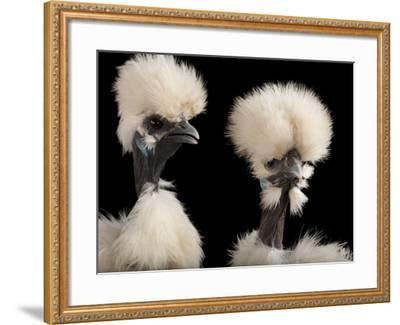 Silkie Showgirl Chickens, Gallus Gallus Domesticus, at the Fort Worth Zoo-Joel Sartore-Framed Photographic Print