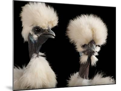 Silkie Showgirl Chickens, Gallus Gallus Domesticus, at the Fort Worth Zoo-Joel Sartore-Mounted Photographic Print