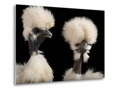 Silkie Showgirl Chickens, Gallus Gallus Domesticus, at the Fort Worth Zoo-Joel Sartore-Metal Print
