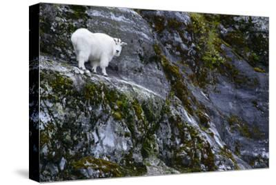 A Mountain Goat Stands on a Cliff Looking with Surprise at the Camera-Michael Melford-Stretched Canvas Print