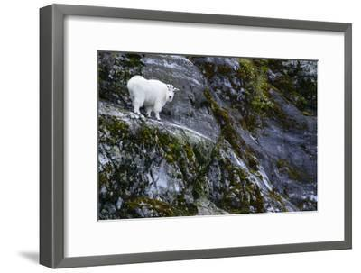 A Mountain Goat Stands on a Cliff Looking with Surprise at the Camera-Michael Melford-Framed Photographic Print