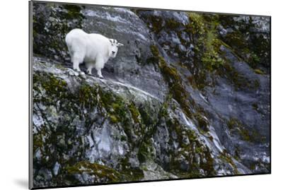 A Mountain Goat Stands on a Cliff Looking with Surprise at the Camera-Michael Melford-Mounted Photographic Print