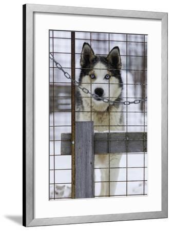 An Alaskan Huskies Peering Through the Wire of its Kennel-Jonathan Irish-Framed Photographic Print