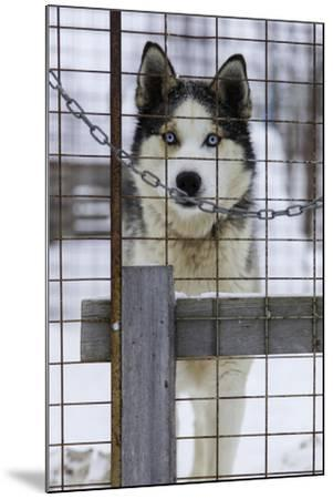 An Alaskan Huskies Peering Through the Wire of its Kennel-Jonathan Irish-Mounted Photographic Print