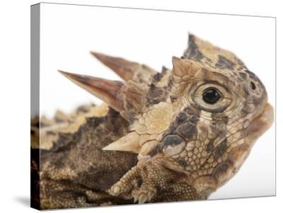 Texas Horned Lizard, Phrynosoma Cornutum, at the Fort Worth Zoo-Joel Sartore-Stretched Canvas Print
