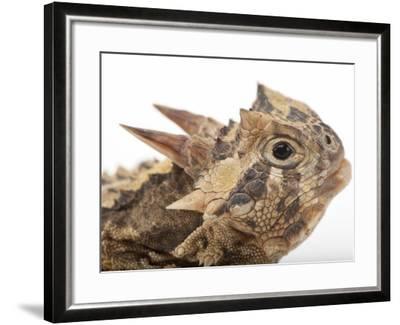 Texas Horned Lizard, Phrynosoma Cornutum, at the Fort Worth Zoo-Joel Sartore-Framed Photographic Print