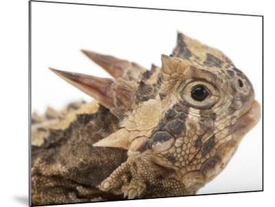 Texas Horned Lizard, Phrynosoma Cornutum, at the Fort Worth Zoo-Joel Sartore-Mounted Photographic Print