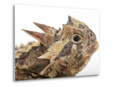 Texas Horned Lizard, Phrynosoma Cornutum, at the Fort Worth Zoo-Joel Sartore-Metal Print