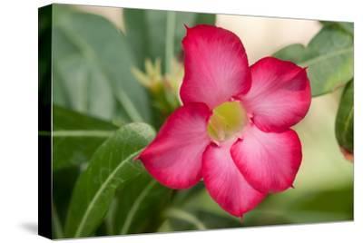 Close Up of the Flower of a Desert Rose, Adenium Obesum, Native to Saudi Arabia-Darlyne A^ Murawski-Stretched Canvas Print