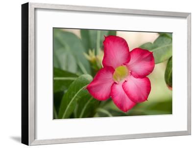 Close Up of the Flower of a Desert Rose, Adenium Obesum, Native to Saudi Arabia-Darlyne A^ Murawski-Framed Photographic Print