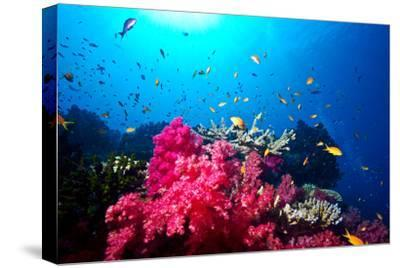 A Branching Pink Carnation Coral Swarming with Colorful Reef Fish-Jason Edwards-Stretched Canvas Print