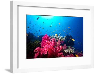 A Branching Pink Carnation Coral Swarming with Colorful Reef Fish-Jason Edwards-Framed Photographic Print