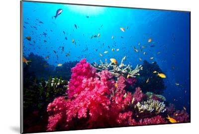 A Branching Pink Carnation Coral Swarming with Colorful Reef Fish-Jason Edwards-Mounted Photographic Print