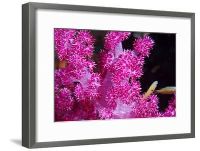 A Bright Pink Colony of Carnation Coral Harbors Small Fish-Jason Edwards-Framed Photographic Print