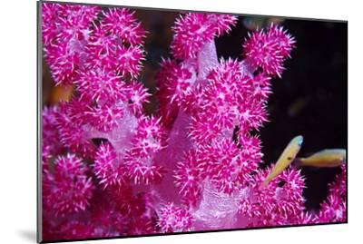 A Bright Pink Colony of Carnation Coral Harbors Small Fish-Jason Edwards-Mounted Photographic Print