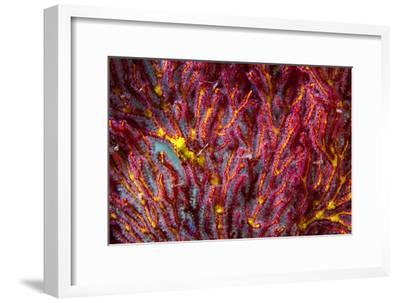 Tiny Soft Coral Polyps on a Gorgonian Fan Feeding on a Coral Reef-Jason Edwards-Framed Photographic Print