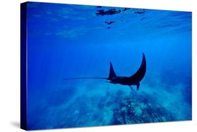 A Manta Ray Glides over a Reef Near the Surface of a Tropical Ocean-Jason Edwards-Stretched Canvas Print