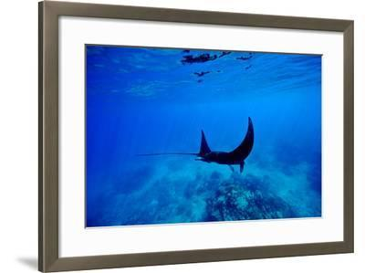 A Manta Ray Glides over a Reef Near the Surface of a Tropical Ocean-Jason Edwards-Framed Photographic Print