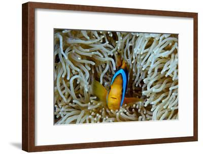 Orange-Finned Anemonefish Shelters in an Anemone's Stinging Tentacles-Jason Edwards-Framed Photographic Print