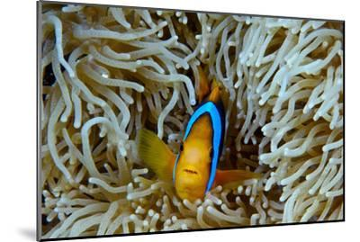 Orange-Finned Anemonefish Shelters in an Anemone's Stinging Tentacles-Jason Edwards-Mounted Photographic Print