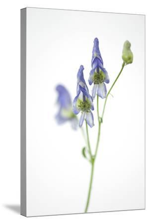 Federally Threatened Northern Wild Monkshood, Aconitum Noveboracense-Joel Sartore-Stretched Canvas Print