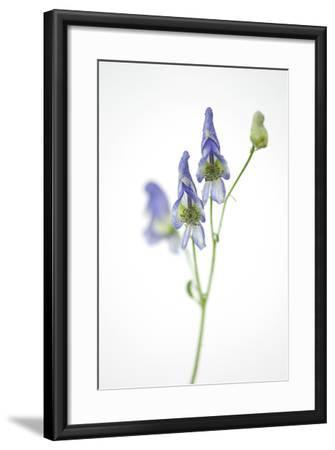 Federally Threatened Northern Wild Monkshood, Aconitum Noveboracense-Joel Sartore-Framed Photographic Print