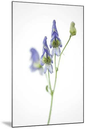 Federally Threatened Northern Wild Monkshood, Aconitum Noveboracense-Joel Sartore-Mounted Photographic Print