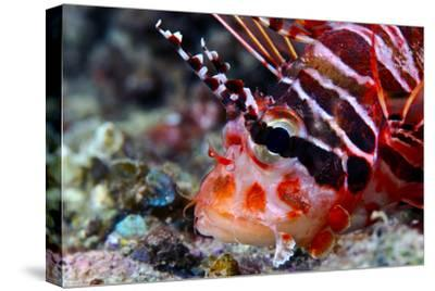 A Venomous Spotfin Lionfish Displays its Vivid Red Stripes and Spines-Jason Edwards-Stretched Canvas Print