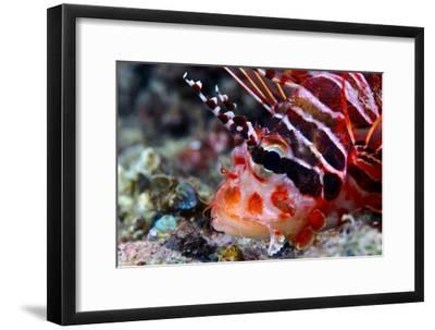 A Venomous Spotfin Lionfish Displays its Vivid Red Stripes and Spines-Jason Edwards-Framed Photographic Print