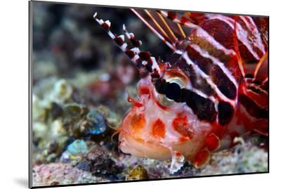 A Venomous Spotfin Lionfish Displays its Vivid Red Stripes and Spines-Jason Edwards-Mounted Photographic Print