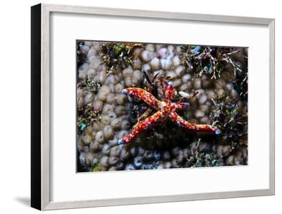 A Vivid Red Spotted Linckia Sea Star Perched Atop a Coral Reef-Jason Edwards-Framed Photographic Print