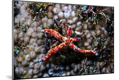 A Vivid Red Spotted Linckia Sea Star Perched Atop a Coral Reef-Jason Edwards-Mounted Photographic Print