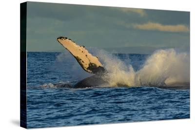 A Humpback Whale Breaches in the Pacific-Ralph Lee Hopkins-Stretched Canvas Print