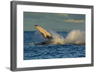 A Humpback Whale Breaches in the Pacific-Ralph Lee Hopkins-Framed Photographic Print