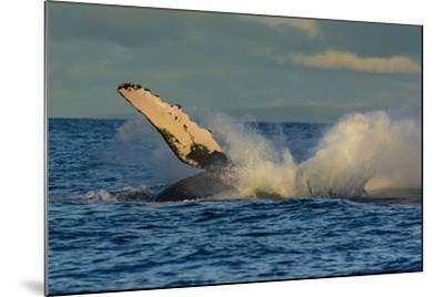 A Humpback Whale Breaches in the Pacific-Ralph Lee Hopkins-Mounted Photographic Print